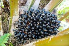 Frutti della palma da olio sull'albero Immagini Stock Libere da Diritti