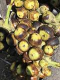 Frutti della palma di dubbio o di borassus flabellifer o della palma di Palmira o della palma del tala o della palma di Toddy immagine stock libera da diritti