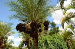 Frutti della palma sopra l'albero Immagini Stock