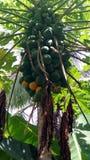 Frutti della papaia Immagini Stock