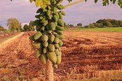 Frutti della papaia sulla pianta Fotografie Stock Libere da Diritti