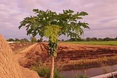 Frutti della papaia sulla pianta Immagine Stock Libera da Diritti
