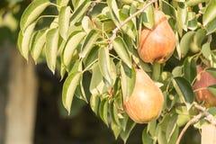 Frutti della pera Fotografia Stock Libera da Diritti