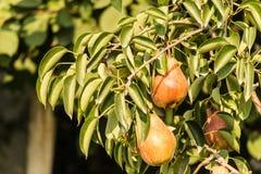 Frutti della pera Immagini Stock