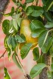 Frutti della pera Fotografie Stock Libere da Diritti