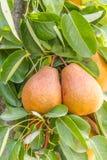 Frutti della pera Fotografia Stock