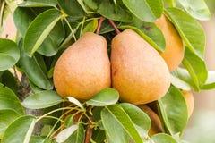 Frutti della pera Immagini Stock Libere da Diritti