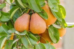 Frutti della pera Fotografie Stock