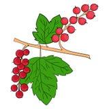 Frutti della pianta dell'uva passa Immagini Stock Libere da Diritti