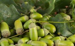 Frutti della quercia immagine stock