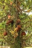 Frutti di Brown su un albero Fotografie Stock