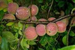 Frutti di chaenomeles Fotografia Stock Libera da Diritti