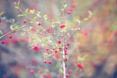 Frutti di Goji sul ramo fotografia stock libera da diritti