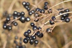 Frutti di inverno Immagine Stock