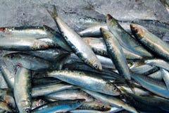 Frutti di mare dei pesci freschi della sardina sul servizio del mare del ghiaccio Fotografie Stock