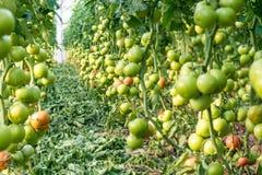 Frutti di maturazione dei pomodori in una serra Immagine Stock