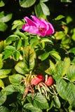 Frutti di maturazione, fiori porpora luminosi e foglie verdi sui rami di Rose Bush selvaggia L'arbusto del parco e del giardino,  Immagine Stock