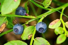Frutti di parti anteriori Bacche mature selvatiche del mirtillo Fotografia Stock