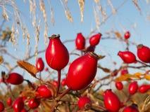 Frutti di Rosa selvaggia (canina di Rosa) Fotografia Stock