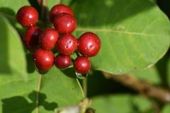 Frutti di rosso della foresta Immagine Stock