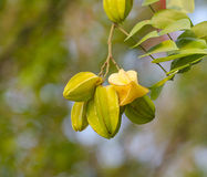 Frutti di stella freschi con fondo astratto natual Fotografia Stock