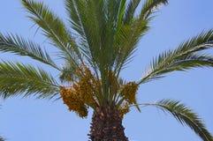 Frutti di una palma fotografie stock libere da diritti