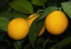 Frutti e foglie verdi arancio Fotografia Stock