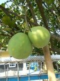 Frutti ed albero del pummelo del pomelo Immagini Stock Libere da Diritti
