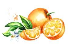 Frutti, foglie e composizione arancio freschi nel fiore Illustrazione disegnata a mano dell'acquerello, isolata su fondo bianco Fotografia Stock