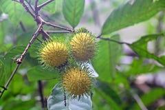 Frutti gialli del Rambutan Immagine Stock