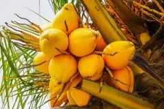 Frutti gialli della papaia sull'albero di papaia tropicale Fotografia Stock