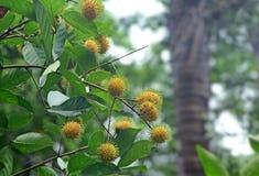 Frutti gialli di maturazione del Rambutan Fotografie Stock Libere da Diritti