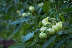Frutti maturi dei pomodori Fotografia Stock