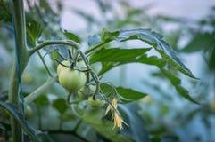 Frutti maturi dei pomodori e della fioritura Fotografie Stock