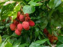 Frutti maturi del litchi sull'albero pronto al selezionamento dolce immagine stock