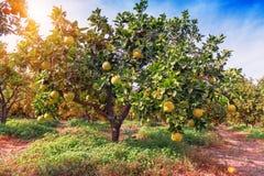 Frutti maturi del pomelo Fotografia Stock Libera da Diritti
