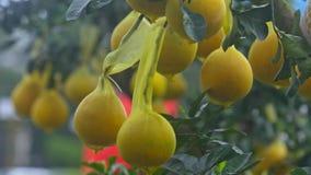 Frutti maturi gialli del pomelo del primo piano sull'albero come abitudine vietnamita archivi video