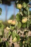Frutti maturi gialli della pera sul ramo di albero fotografia stock
