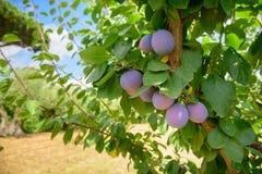 Frutti maturi porpora della prugna sul ramo di albero fotografie stock