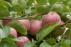 Frutti maturi rossi della mela sull'albero immagini stock libere da diritti