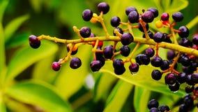 Frutti minuscoli con le gocce di pioggia Immagine Stock Libera da Diritti