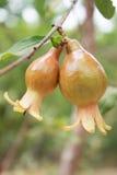 Frutti non maturi del melograno Fotografia Stock