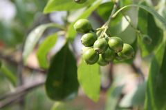 Frutti non maturi del santalum album, albero indiano di legno del sandalo Fotografia Stock