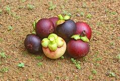 Frutti porpora raccolti del mangostano Fotografia Stock