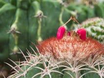 Frutti rossi del melocactus Immagine Stock Libera da Diritti