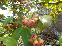 Frutti rossi di eugenia che appendono sull'albero Fotografia Stock Libera da Diritti