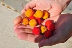 Frutti rotondi e presto-fioriti sulle palme Immagine Stock Libera da Diritti