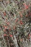 Frutti rotondi rossi Immagini Stock Libere da Diritti