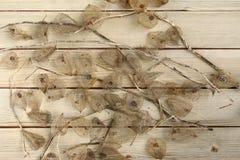 Frutti secchi dell'alchechengio Fotografia Stock