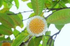 Frutti selvaggi nel delta del Mekong Fotografie Stock Libere da Diritti